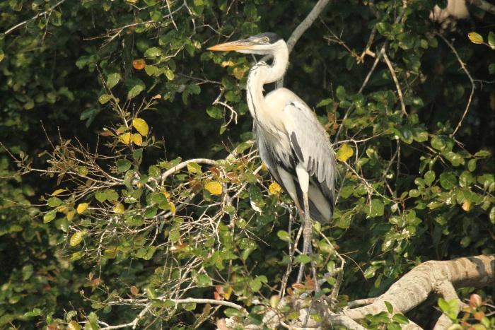 White-necked (Cocoi) Heron