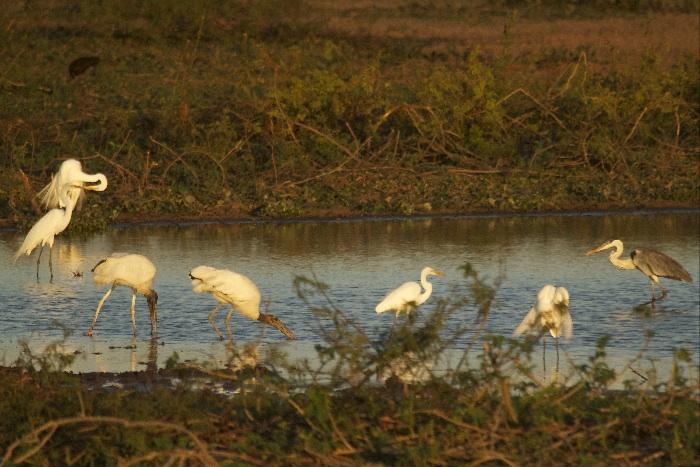 Wood Storks, Egrets and Heron
