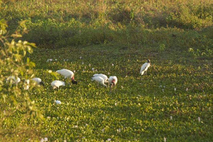 Jabiru & Egrets