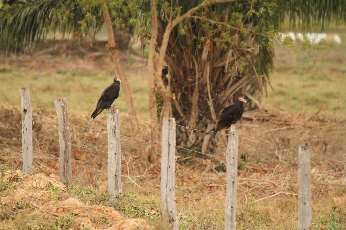 Pantanal Birds - 069