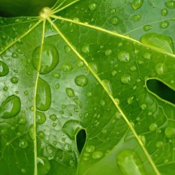 Fatsia Japonica with water droplets