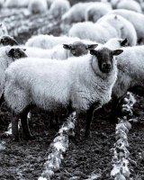 132 Sheep With Feed Crop
