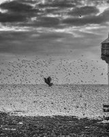 48 Starlings (and a pier and a pigeon) At Aberystwyth