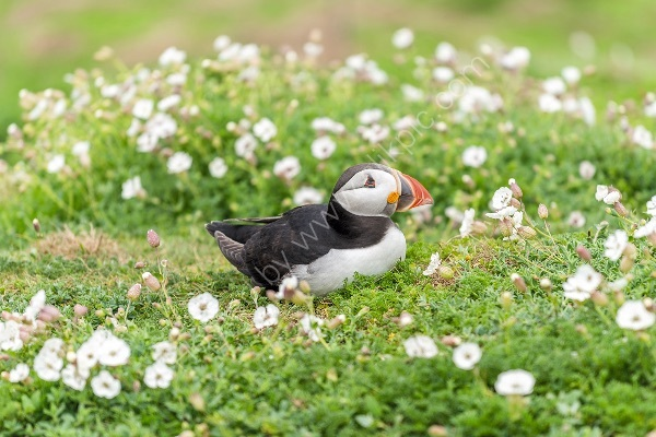 80 Puffins III