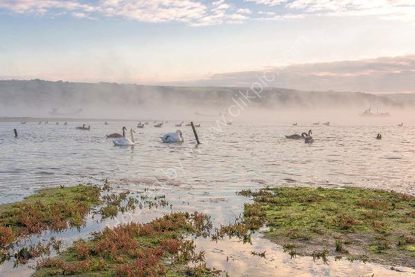 98 Swans & Geese On The Teifi
