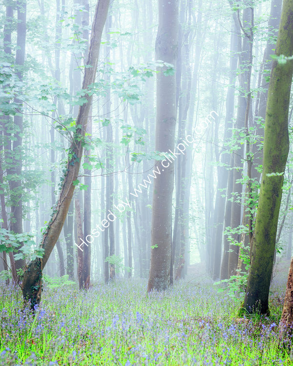 98 Some Bluebells In Some Mist In Some Woods