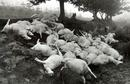 One of my first most dramatic encounters. Seventy two sheep killed by one bolt of lightening while sheltering under a tree!