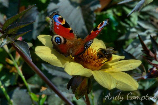 Butterfly and Bee at Hergest Croft Gardens