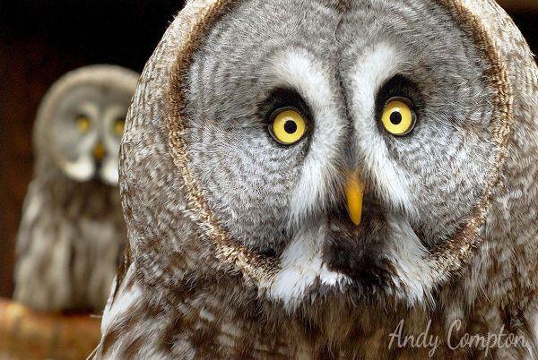 Great Grey Owl Small Breeds Farm