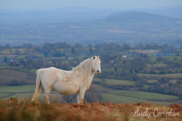 A Hergest Ridge pony, Herefordshire behind.