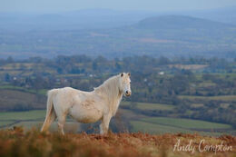 A Hergest Ridge pony, Herefordshire behind.
