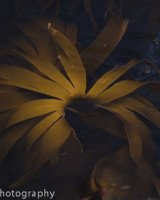 Kelp flower