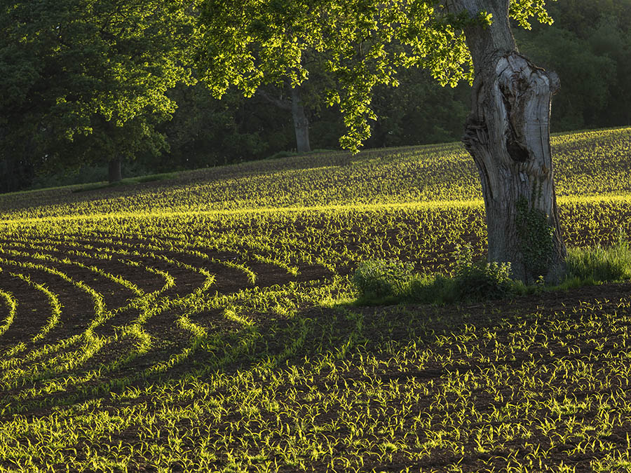 Evening Light On A Crop Field