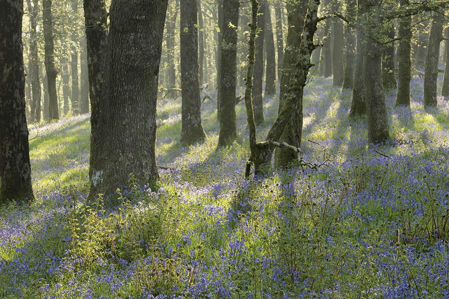 Burrow Wood. Exmoor.
