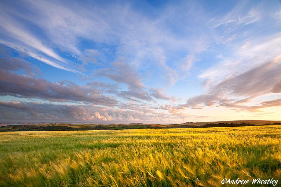 Barley On Willingcott Hill