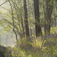 Northdown Wood Bluebells