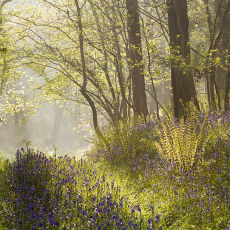 Morning Mist and Bluebells