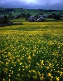Buttercup Meadow, Rathmell