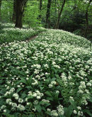 Carpet of ramsons, Spring Wood