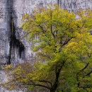 Ash Tree, Malham Cove