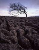 Ash Tree, Newbiggin Crags