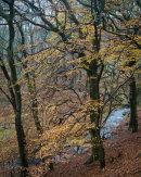Autumn Beech, Roddlesworth Woods