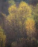 Autumn Birch, Cox Green, 01