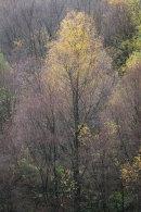 Autumn Birch, Cox Green, 02