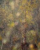 Autumn Birch, Hutton Roof