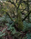 Autumn Oak, Roddlesworth Woods