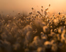 Backlit Cottongrass 02