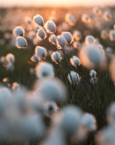 Backlit Cottongrass 03