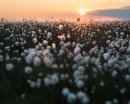 Cottongrass Sunset, Cheetham Close