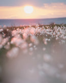 Backlit Cottongrass 09