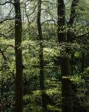 Beech Trees, Wayoh