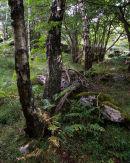 Birch, Hazel Coppice