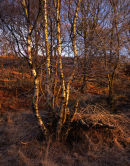 Morning Light on Birch, Longworth Clough