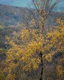 Birch, Whitbarrow