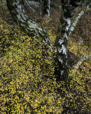Blackthorn & Birch, Whitbarrow