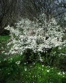 Blackthorn Blossom, Wharfe Wood
