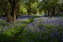 Bluebell Path, Wharfe Wood
