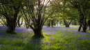 Bluebells, Wharfe Wood