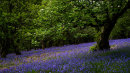 Bluebells & Rowan, Wharfe Wood