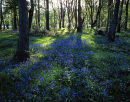 Bluebells, Boilton Wood