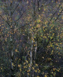 Breezy Birch