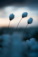 Cotton Grass, Cheetham Close