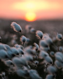 Cotton-grass Sunset 01