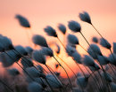 Cotton-grass Sunset 02