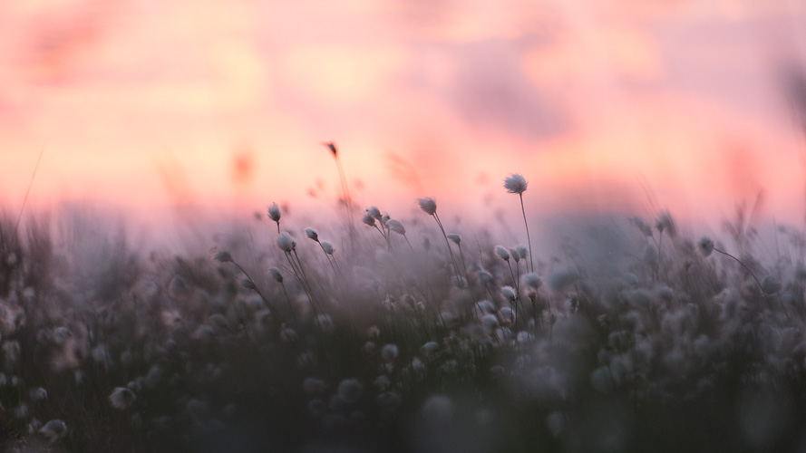 Cotton-grass Sunset 03