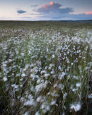 Cottongrass, Cheetham Close